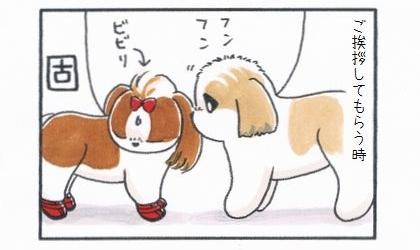 相手のシーズーにご挨拶してもらう時。大きいシーズーに臭いを嗅がれて固まるビビリ犬
