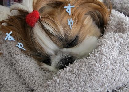パパに抱っこされて気持ち良さそうに眠るシーズー犬まろん