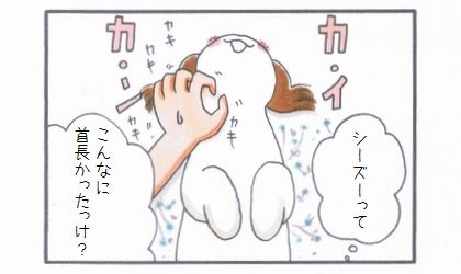 首長シーズー-4
