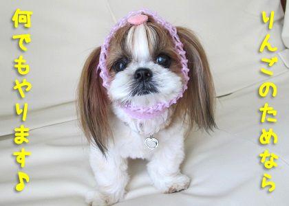 ウルトラの母なシーズー犬まろん