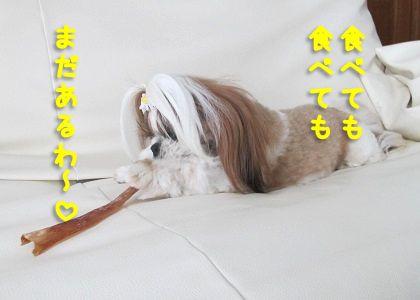 馬アキレス を食べるシーズー犬まろん3