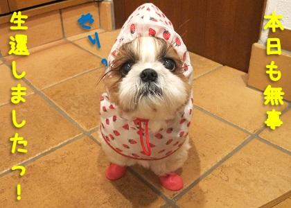 雨のお散歩から無事生還したシーズー犬まろん