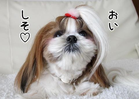 納豆が大好きなシーズー犬まろん