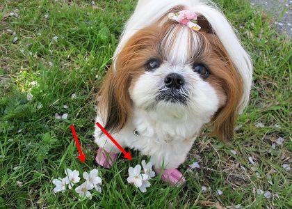 落ちた桜の花とシーズー犬まろん