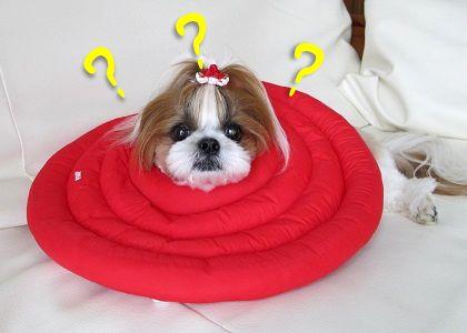 初めてエリザベスカラーを装着したシーズー犬まろん