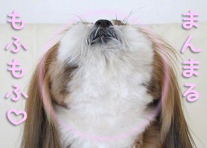 まんまる毛玉なシーズー犬まろん