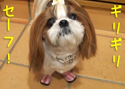 ギリギリセーフで帰宅したシーズー犬まろん