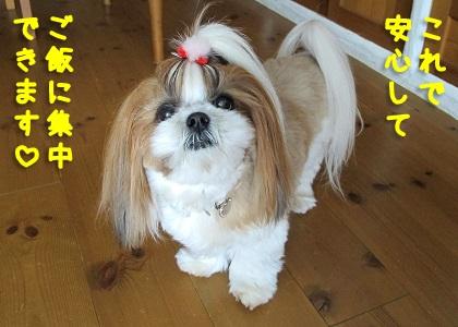 床暖房がうれしいシーズー犬まろん