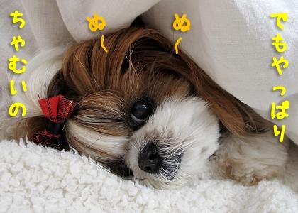 寒がりで暑がりなシーズー犬まろん