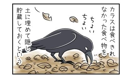 カラスは食べきれなかった食べ物を、土に埋めて隠し貯蔵しておくという。落ち葉の下に食べ物を埋めるカラス