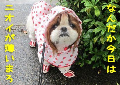 犬用レインコートを着て雨の中お散歩するシーズー犬まろん