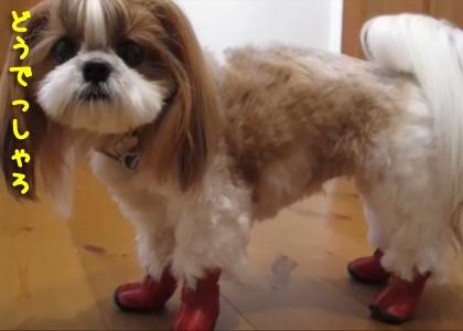 1154_犬靴を履いたシーズー犬まろん