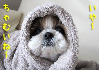 寒がりなシーズー犬まろん