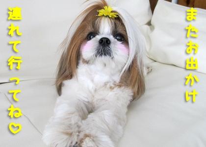 お出かけ好きなシーズー犬まろん