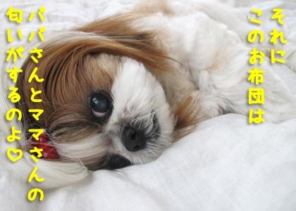 パパとママの匂いのついた布団が好きなシーズー犬まろん