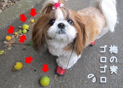 シーズー犬まろんとお散歩コースの梅の実