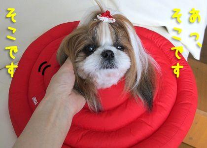 エリザベスカラー装着で耳がかけないシーズー犬まろん