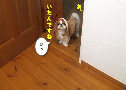 玄関まで様子を見にきたシーズー犬まろん