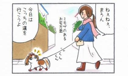 散歩中に犬に提案する。ねぇねぇ、今日はこっちの道(ミモザのあるお宅方面)を行こうよ