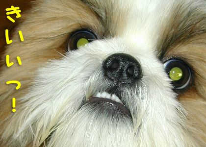 リアルイウォークなシーズー犬まろん