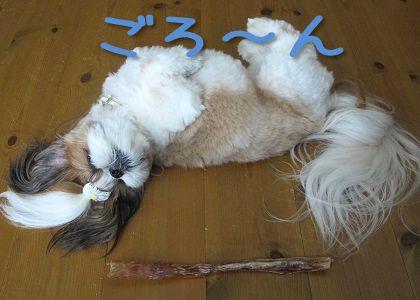 超ロングな馬アキレスと比較したシーズー犬まろん