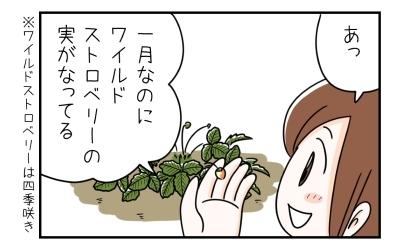 あっ、一月なのにワイルドストロベリーの実がなってる。ワイルドストロベリーは四季咲き