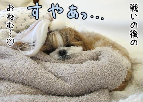 ほりほりの後満足して寝るシーズー犬まろん