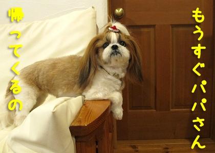 ドアの前でパパの帰りを待つシーズー犬まろん