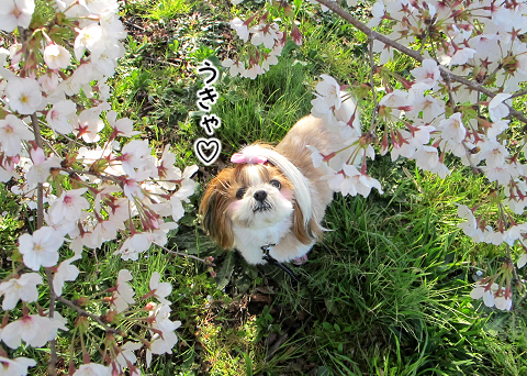 桜の降り注ぐ中でのシーズー犬まろん