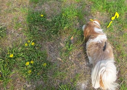 たんぽぽ畑を楽しむシーズー犬まろん