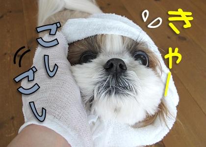 タオルで顔を拭かれるシーズー犬まろん