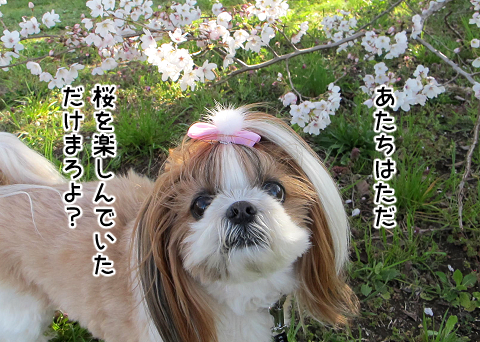 桜を楽しんでいたシーズー犬まろん