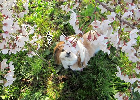 桜の花がかぶったシーズー犬まろん