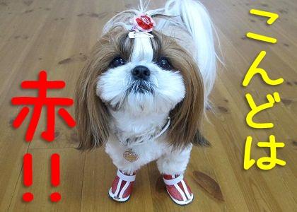 赤い犬靴を履いたシーズー犬まろん