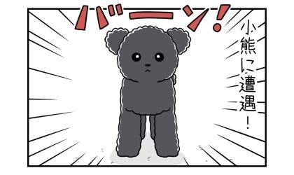 小熊(テディベアカットの黒のトイプードル)に遭遇!