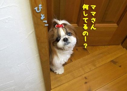 トイレを覗き見するシーズー犬まろん