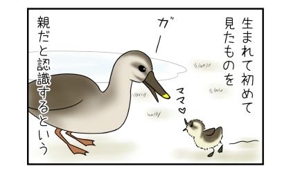 生まれて初めて見たものを親だと認識するという。目の前の鳥を親と認識するヒナ、ママ