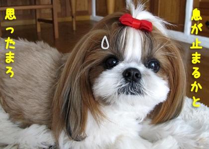 小さい犬服が窮屈だったシーズー犬まろん