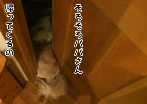 ドアに挟まってパパの帰りを待つシーズー犬まろん