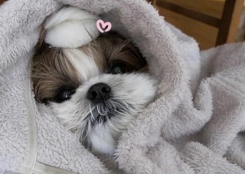 愛しの我が子のシーズー犬まろん