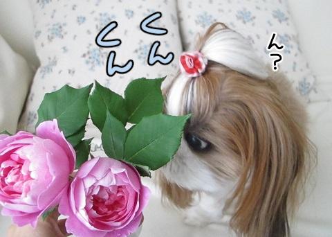 バラの香りを嗅ぐシーズー犬まろん