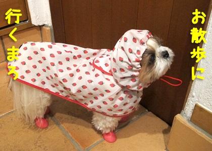 雨の中お散歩に行きたいシーズー犬まろん