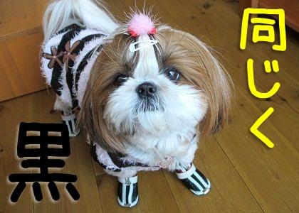 黒い犬靴を履いたシーズー犬まろん