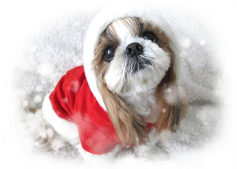 サンタの服を着たシーズー犬まろん3