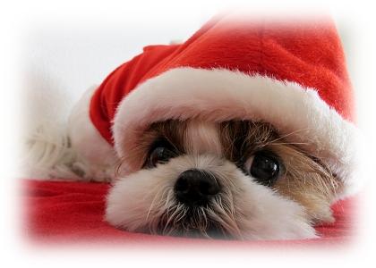 サンタクロースに扮したシーズー犬まろん