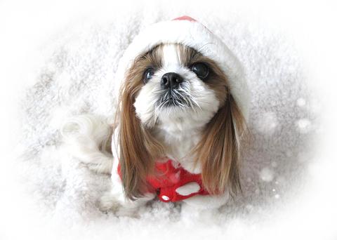 サンタの服を着たシーズー犬まろん1