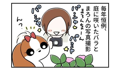 毎年恒例、庭に咲いたバラと愛犬の写真撮影