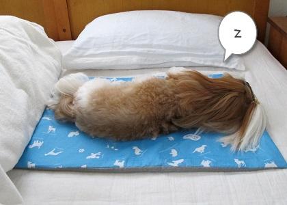 わんだく~るで寝るシーズー犬まろん