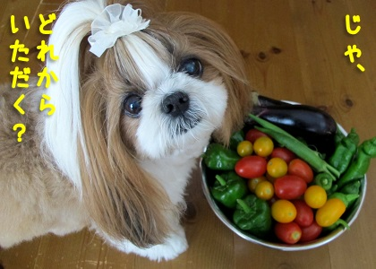 家庭菜園で採れた野菜が食べたいシーズー犬まろん