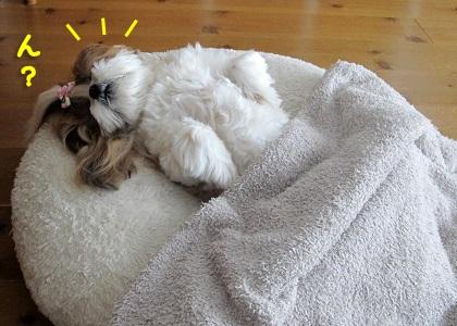 毛布に気づいたシーズー犬まろん
